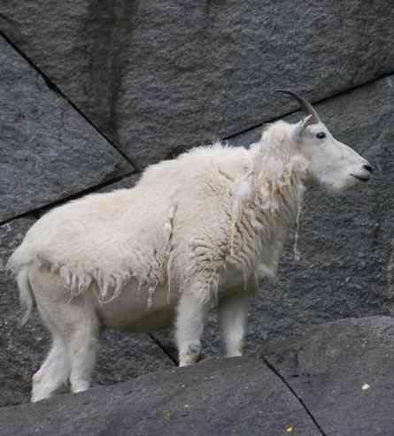 Hoefdier sneeuwgeit in bergen