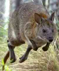Wallabie, ook wel gespeld als wallaby