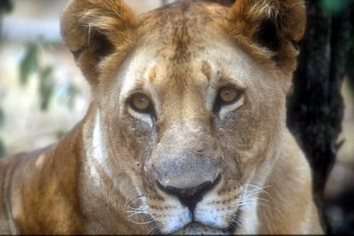 Leeuw bijt leeuwin dood