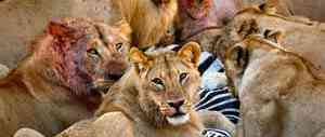 Roofdier leeuwinnen met prooi