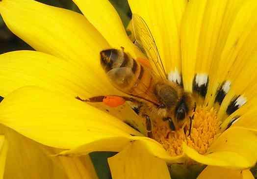 Bloemen bijen bezig met nectar en stuifmeel verzamelen