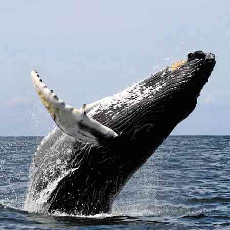 Hoog uit water springende walvis