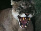 Scherpe tanden leeuw