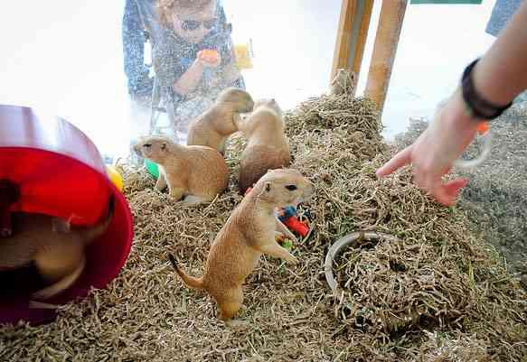 Belangrijkste voedingsbron van prairiehonden is gras