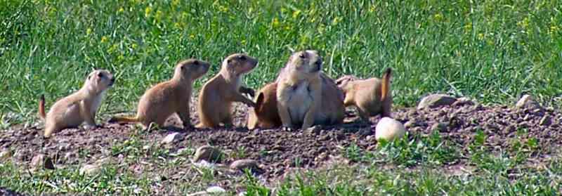 De prairiehonden zijn sociale groepsdieren