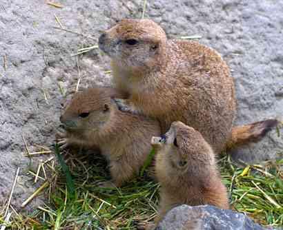 Prairie marmotten zijn prairiedieren