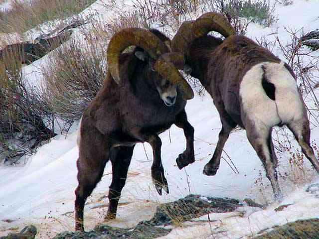 Het gevecht der rammen is een strijd, de holle horens slaan tegen elkaar