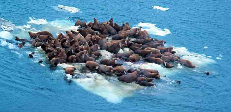 Kudde walrussen op drijvend stuk ijsrots in zee