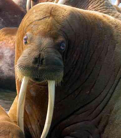 Lange slagtanden van walrus