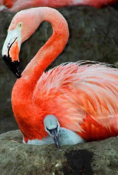 Baby Flamingo met donzige grijze vacht