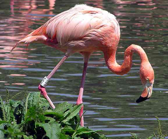Deze roze watervogel staat op één poot in het water