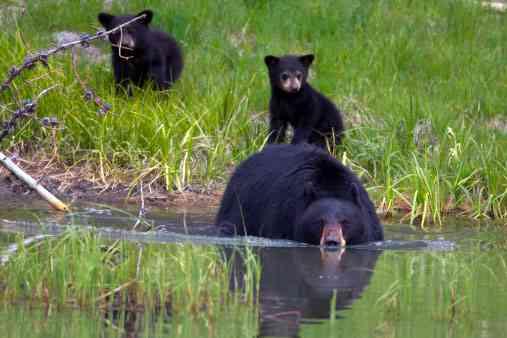 Beertjes lopen achter hun moederbeer aan
