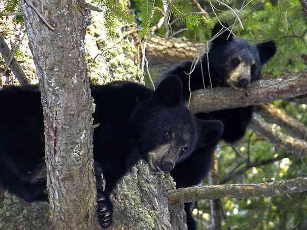 Jonge beren in de boom