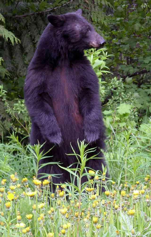 Zwarte beer staat rechtop