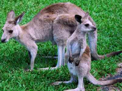 Kangoeroe's zijn buideldieren