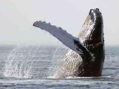 Bultrugwalvis wordt bevrijd uit visnet