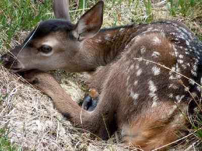 Hertenkalf gered en terug bij moederhert