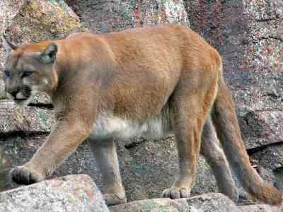 De poema is een bergleeuw, een katachtig roofdier
