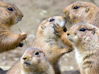 Prairiehonden zijn knaagdieren
