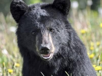 De gemakzuchtige zwarte beer