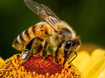 Bijen leven van nectar en stuifmeel