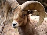 Bergschapen zijn kuddedieren