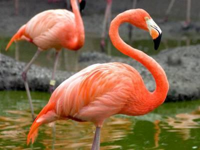 Flamingo vogels op één poot in water