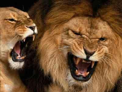 De leeuw is de koning der dieren