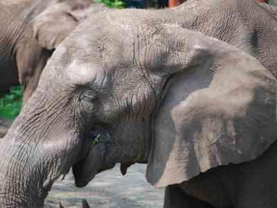 Circusolifant aangetroffen op rotonde